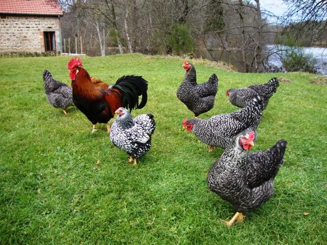 tresor poules famile jan 2015